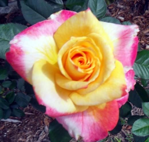 Desert Peace - Hybrid Tea Rose