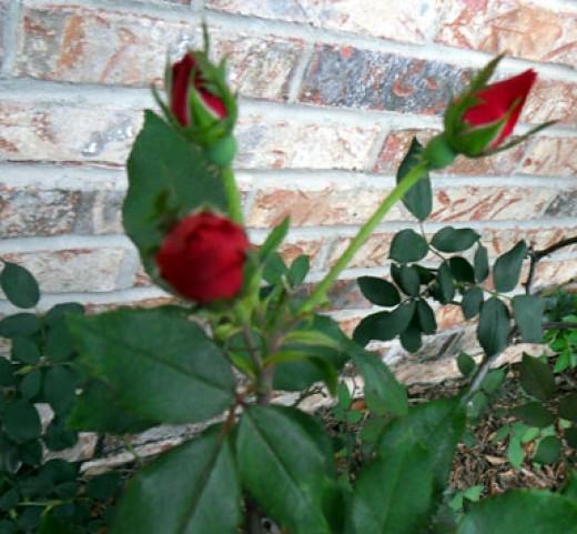 Knock Rose Buds