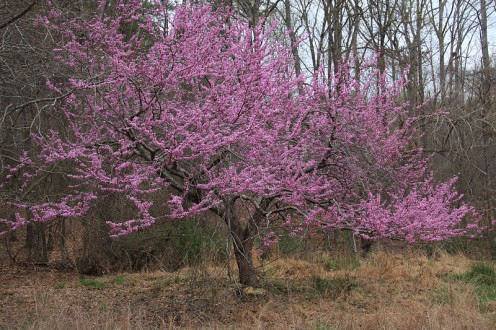 American redbud tree in the Duke Forest, Durham NC, Research Triangle.