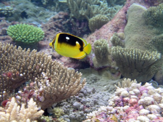 Butterfly fish at Palmyra Island Atoll National Refuge in the Pacific Islands swims by corals.