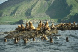 Stellar sea lion haul out, Amak Island, Alaska Maritime National Wildlife Refuge.