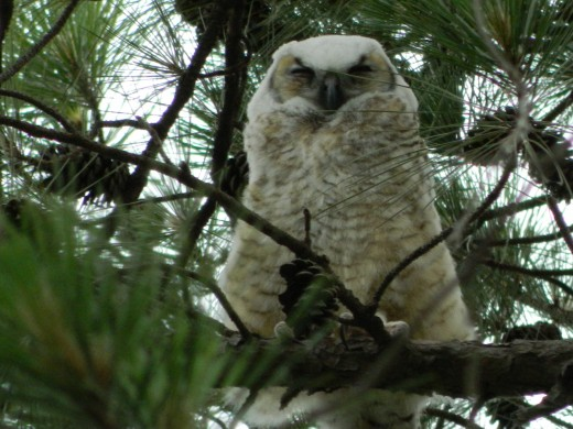 Brancher Great Horned Owlet