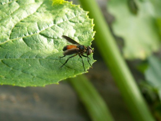 The Tachinid Fly is a predator of the squash bug. It lays its eggs on the adults and their larva feed on them as they hatch.
