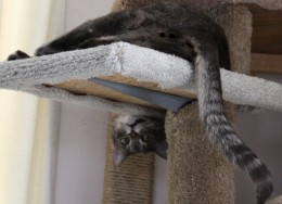 Funny cat hanging upside down on his scratching post.