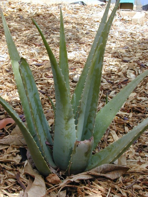 Aloe vera plants provide relief to dry and itchy skin.  It is perfect for dryness from sunburned skin.