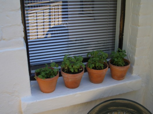 Basil in small terracotta pots