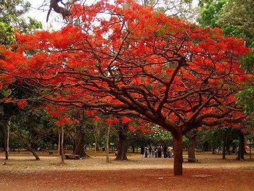 A Gumohar tree