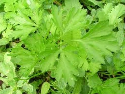 Herba Plant