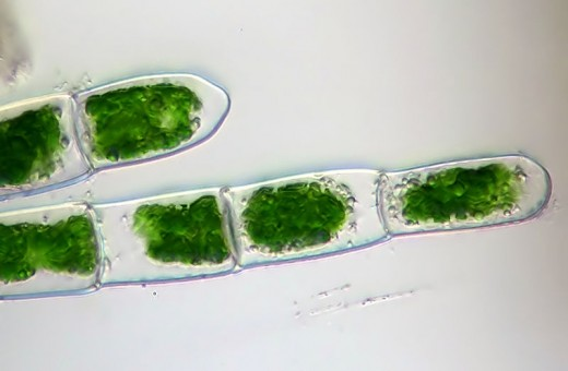 Algae could prove to be the ultimate bio fuel, as it is completely renewable and needs very little fertiliser. Are we looking at oils replacement right here?