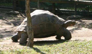 Galapagos Tortoise at Australia Zoo
