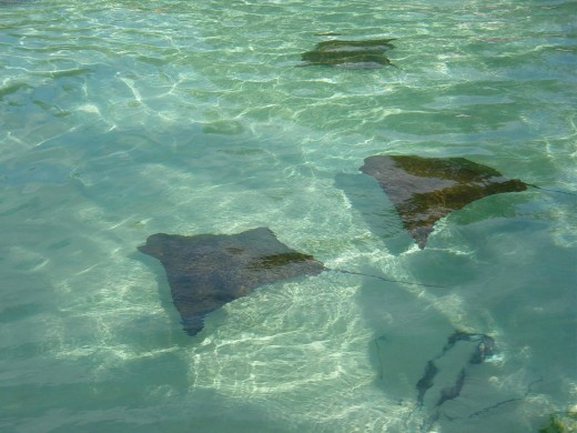 Rays in the lagoon