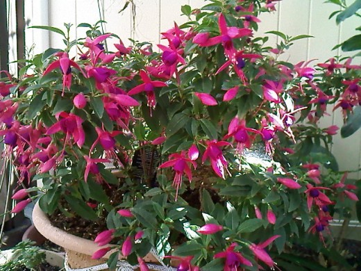 The fuschia I got for the hummingbirds.