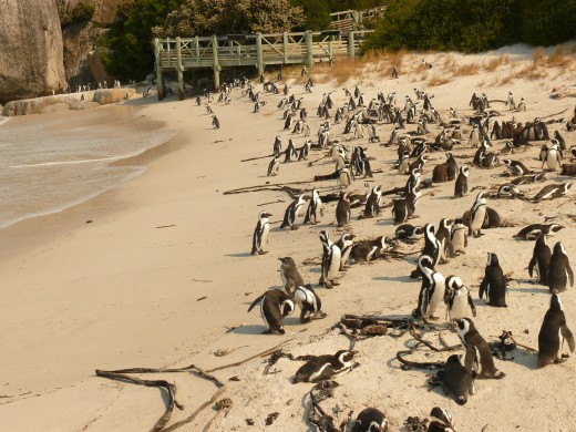 Bolders Penquin Colony - Cape Town