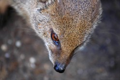 The Mystery of Gef the Talking Mongoose