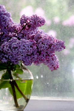 Why Lilac Bushes Only Bloom For Two Weeks