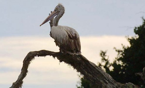SPOT BILLED PELICAN