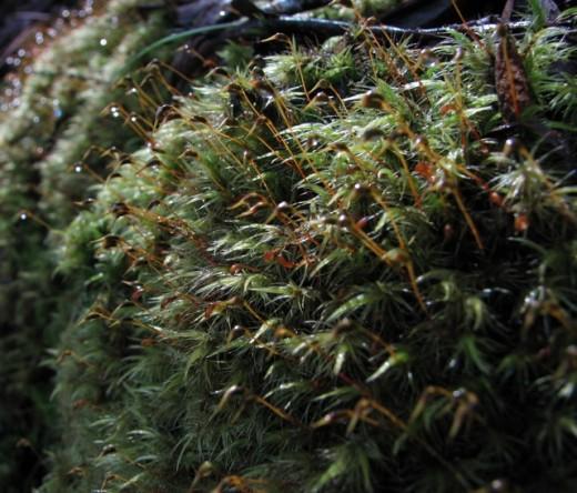 Dew covered moss on a rock, Tasmania, Australia.