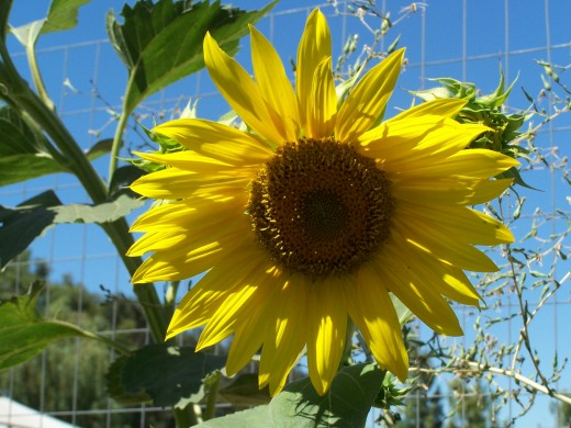 One of our bright little sunflowers from last year.  Behind it is the metal fence we built to keep unwanted animals out of the garden.