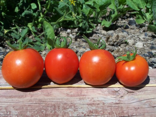 Some fresh homegrown tomatoes from our garden last season.