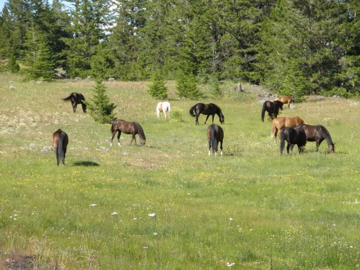 The herd runs freely in quiet nature on the hills above Stump Lake near Kamloops.