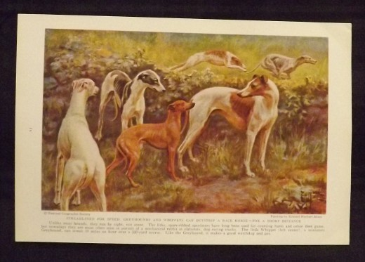 Greyhounds and Whippets