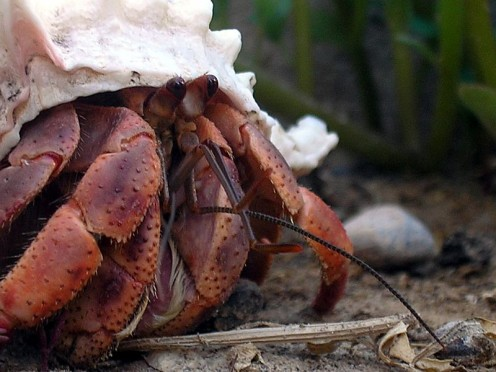 Hermit Crab with Shell.
