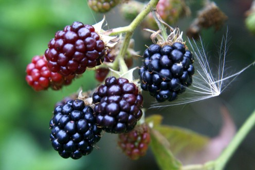 Blackberries in our garden