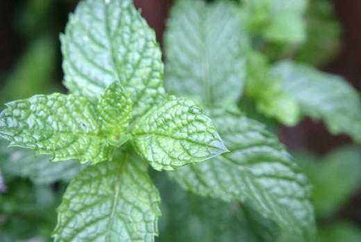 Fresh abundant Mint
