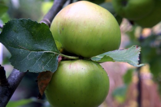 Bramley Apples cuddling up close
