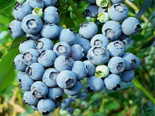 A blueberry bush bears fruit
