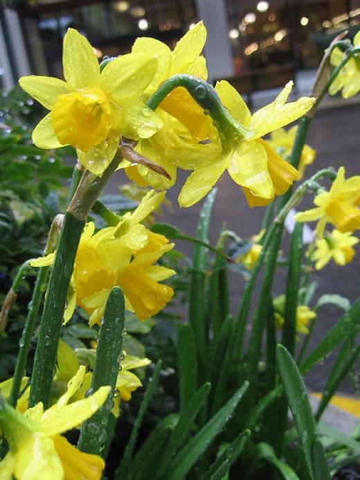 daffodils—brx0 (Flickr.com)