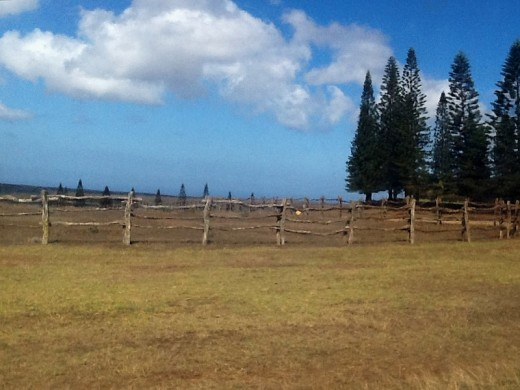 Norfolk Island Pines in Palawai Basin