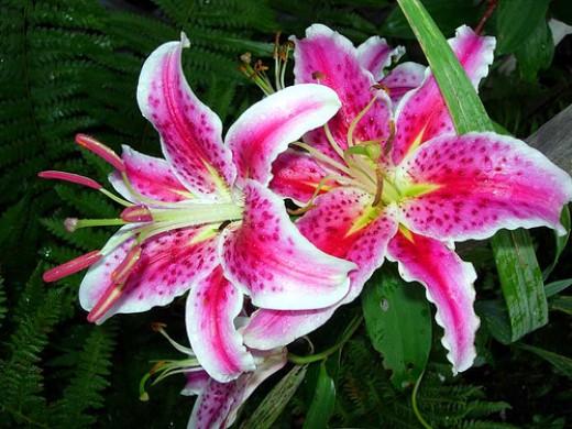 StarGazer Lily—Noel Goodwin (Flickr.com)