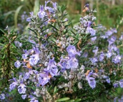 Rosemary: A Natural Herb to Grow Your Hair
