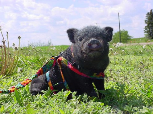 A baby pot-bellied pig