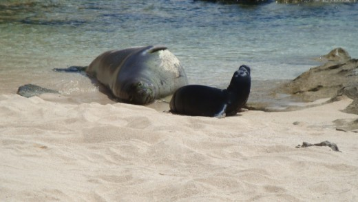 This mother seal hauled out on Oahuʻs North Shore to birth her pup in late summer of 2010.