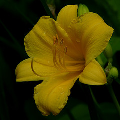 Daylily, Stella d'Oro is popular ever-blooming variety
