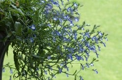 How to Quit Smoking With Lobelia