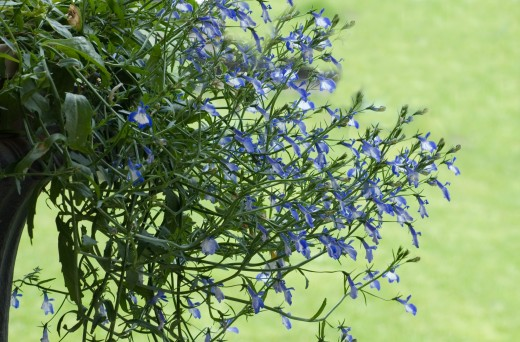 How To Quit Smoking With Lobelia Hubpages
