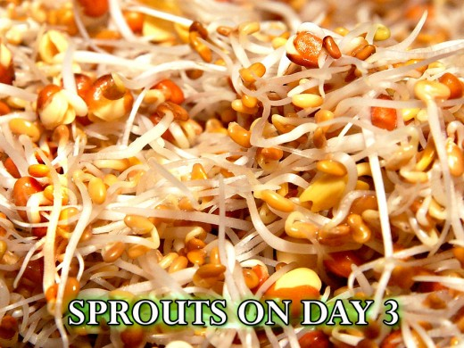 On day 3, the sprouts are really growing fast!