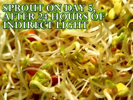 The new grown sprouts turn green only after they have a little light available. This happens because of photosynthesis! Which is how plants make their food with the help of the sun!