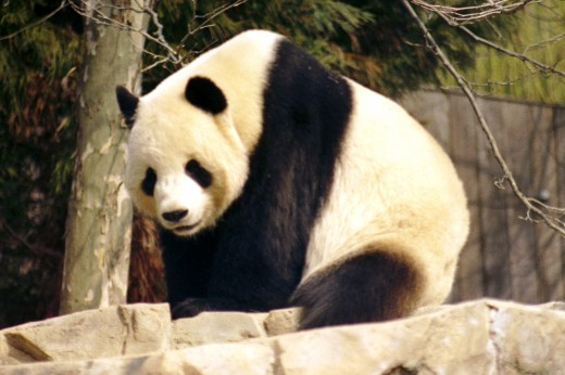 "Male Giant Panda ""Tian Tian"""
