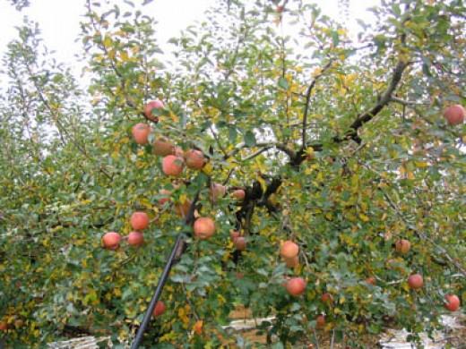 Apple trees of Shimla