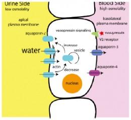Cranial diabetes insipidus causes hyponatremia