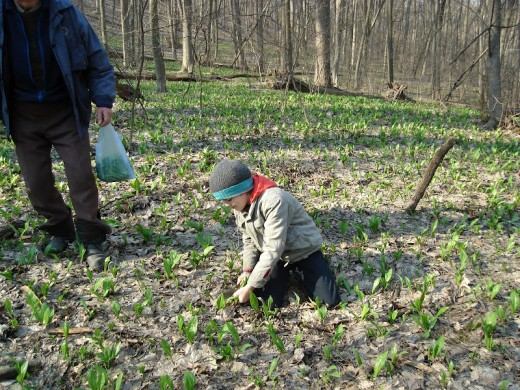 collecting wild garlic