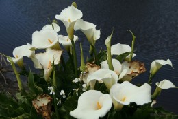 Calla lily bouquet, Pond Bouquet—clairity (Flickr.com)