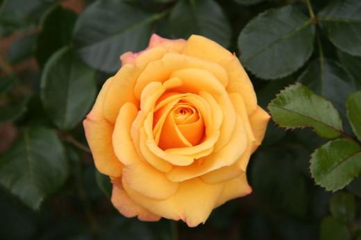 Rose: Amber Flush