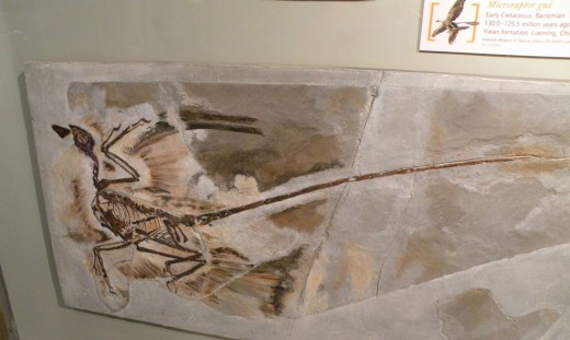 Microraptor gui fossil from the Yixian formation, Liaoning, China