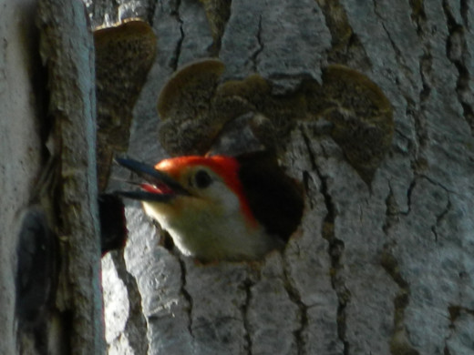 Red-Bellied Woodpecker in His New Home.