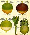 Turnips...in Happier Times.  High School Yearbook...